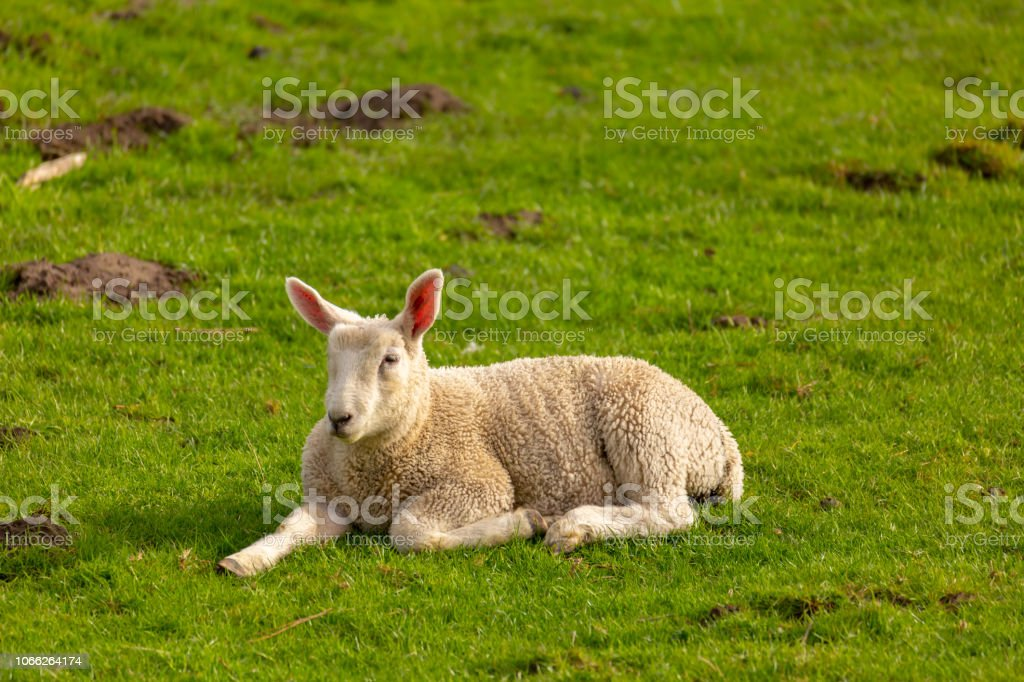 A young sheep lies in the meadow.