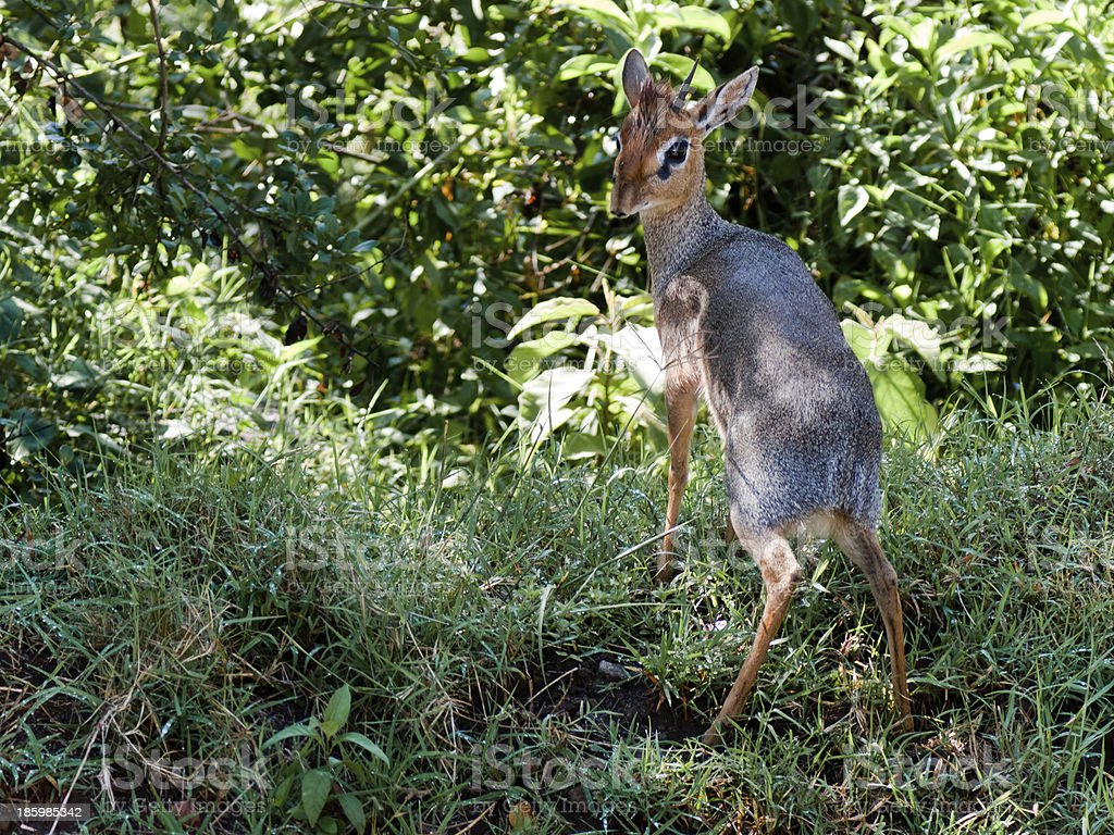 Young antelope standing on the grass stock photo