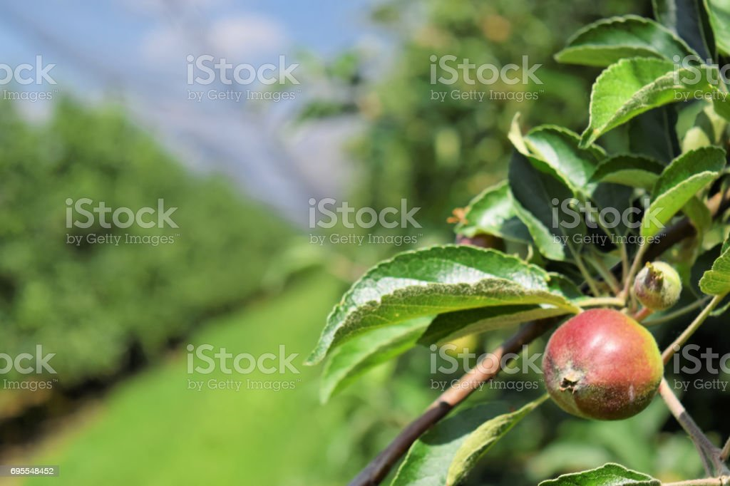 Young apples in an orchard during springtime stock photo