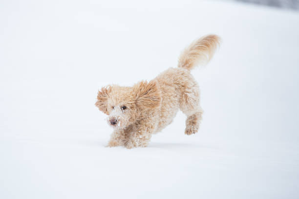 Young apricot poodle is jumping and enjoying in the snow picture id1138013112?b=1&k=6&m=1138013112&s=612x612&w=0&h=kbvm833jao yo4yyegxc dnp60klwvvpdxksafs6mmw=
