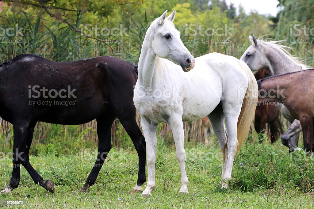 Young arabian mares and foals grazing on pasture stock photo
