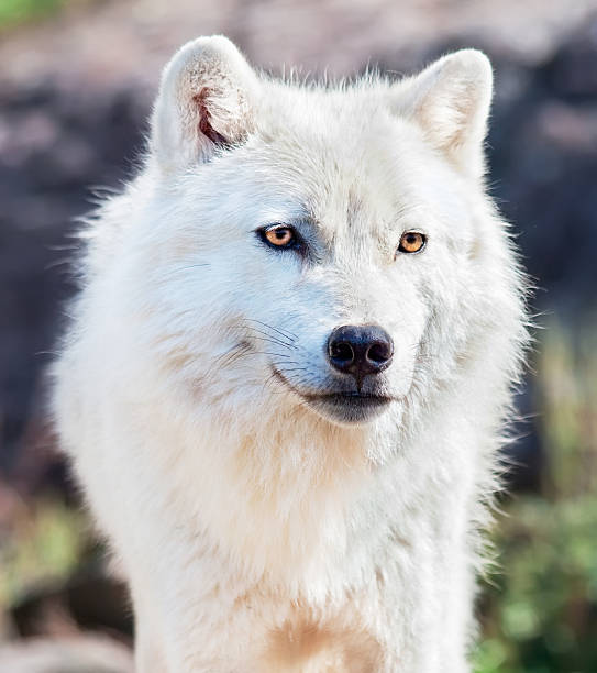 Young Arctic Wolf Close-Up stock photo