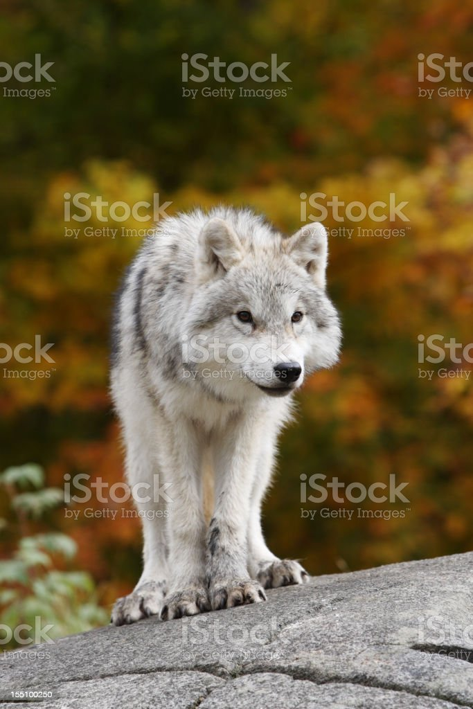 Young Arctic Wolf Cub in Fall stock photo