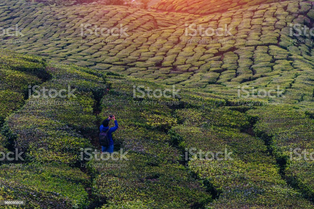 Young asian backpacker traveling into tea fields with mist. Young man traveler take a photo of mountain tea field with foggy, Enjoying tea plantations in Cameron Highlands near Kuala lumpur Malaysia - Royalty-free Agricultural Field Stock Photo
