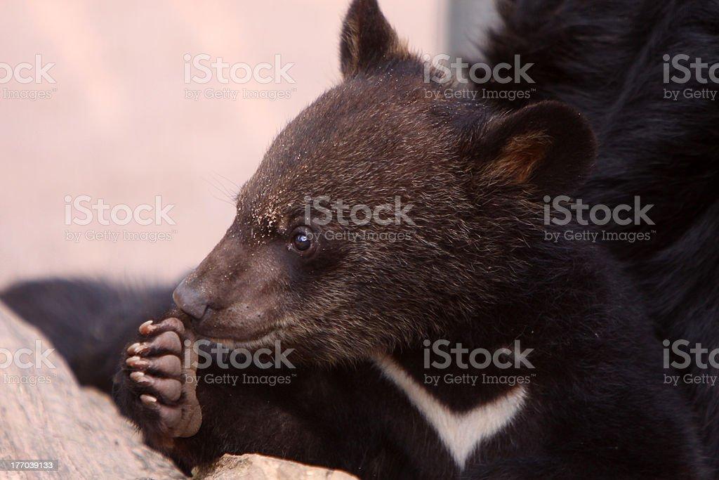 Young Asian black bear stock photo