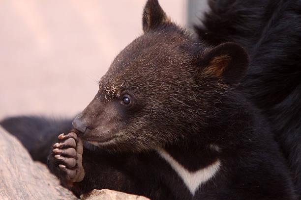Young Asian black bear – Foto