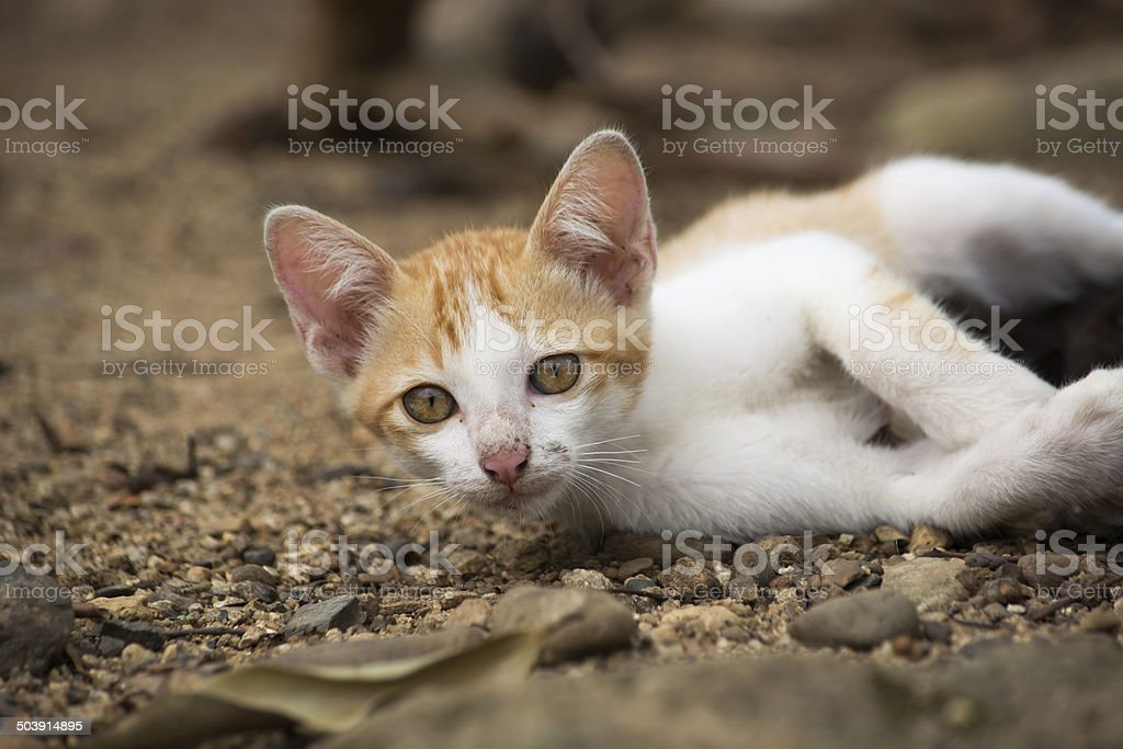 Young asian cat laying on the ground. - Stock image .