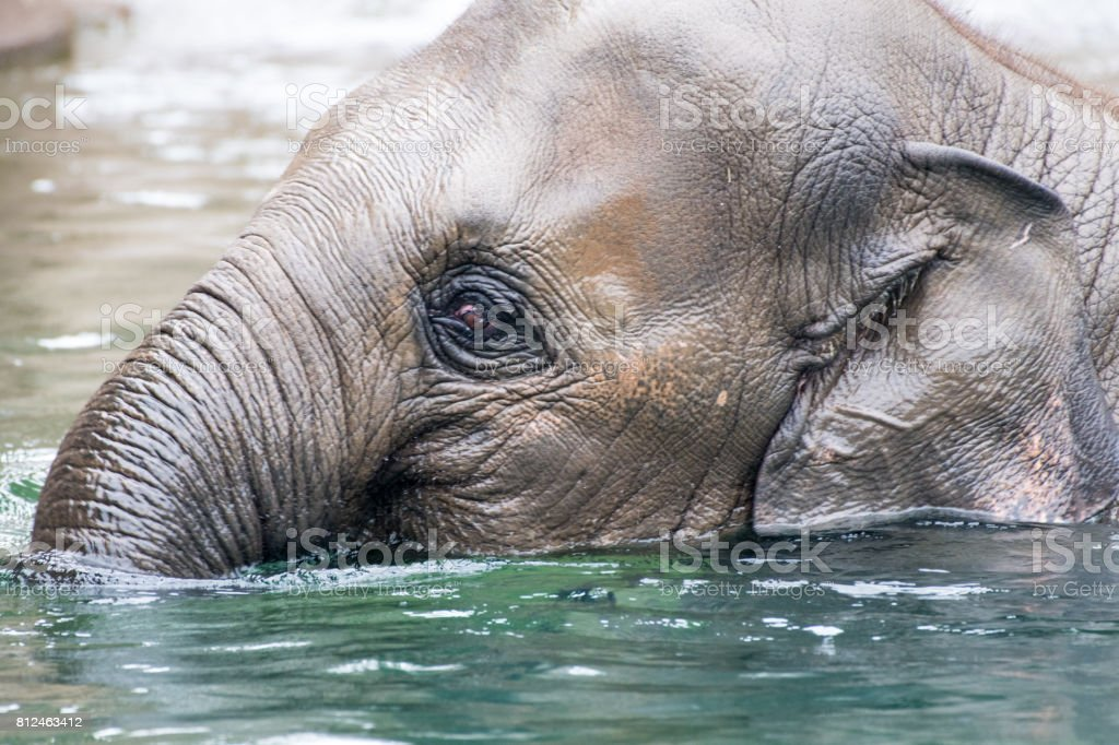 Young Asian Elephant Playing stock photo