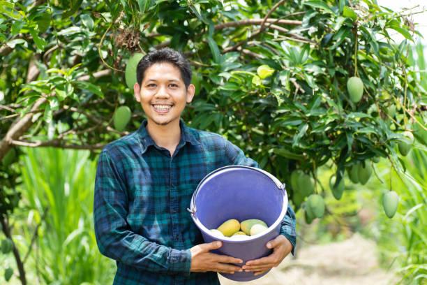 Junge asiatische Bauer Mango Obsternte im Bio-Bauernhof – Foto