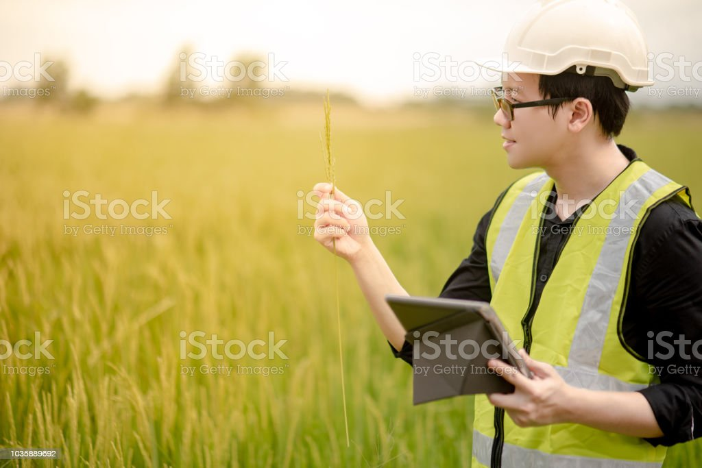 Young Asian male agronomist or agricultural engineer holding rice spike observing green rice field with digital tablet for the agronomy research. Agriculture and technology conceptst stock photo