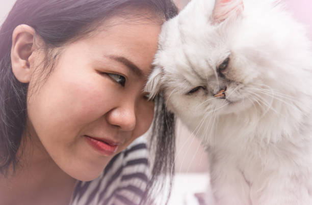 Young asian woman with her pet persian cat bumping head together with love stock photo