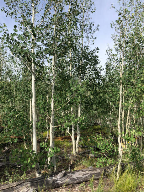 young aspen forest - jeff goulden stock photos and pictures
