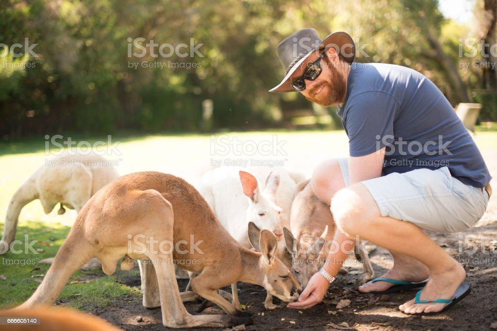 Young Australian feeding kangaroos stock photo