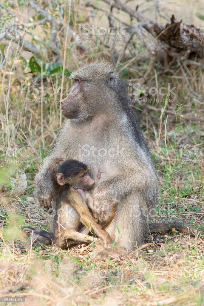 Jonge baviaan en moeder - Royalty-free Aap Stockfoto
