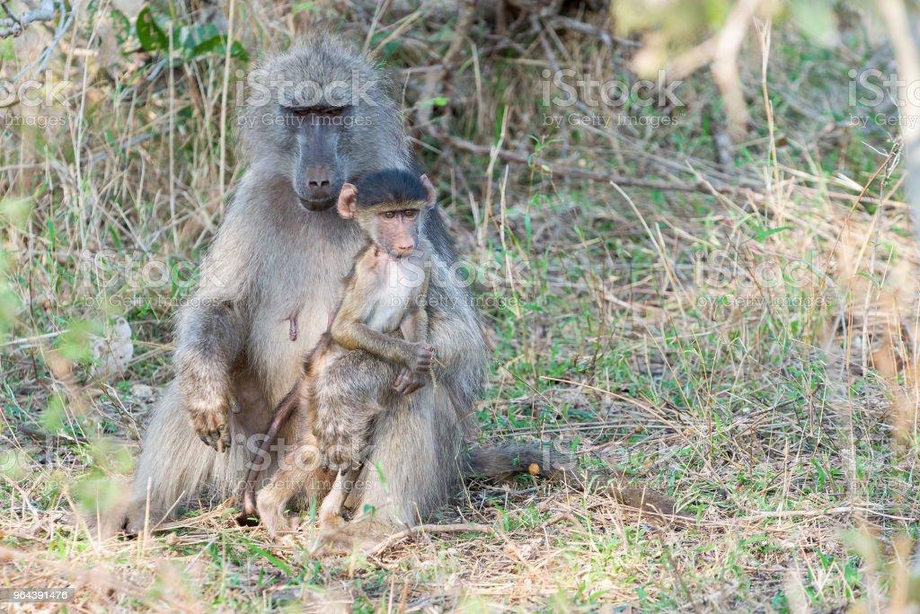 Babuíno jovem se opõe a sua mãe - Foto de stock de Andando royalty-free
