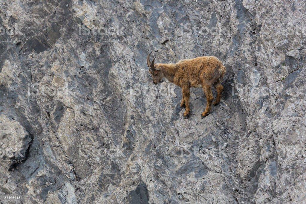 jungen Baby Steinbock Steinbock stehend blickte auf Klippe – Foto