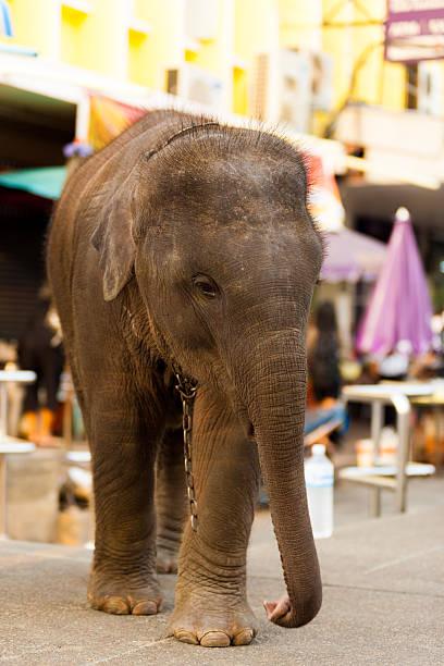Young Baby Elephant Downtown City Bangkok圖像檔