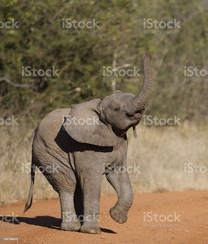 Young baby elephant with its trunk raised stock photo