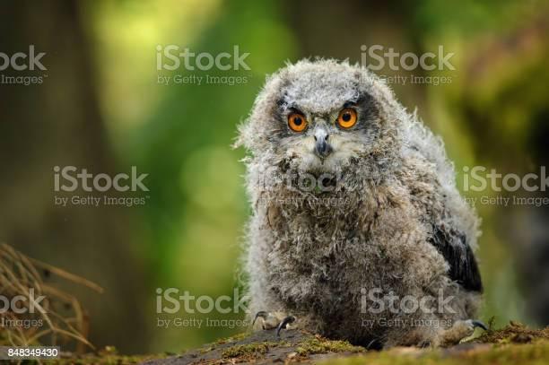 Young baby eurasian eagle owl picture id848349430?b=1&k=6&m=848349430&s=612x612&h=f4bzjxpjembckgyjork9m4mvxgxpkhauyl4ni6ymrh0=