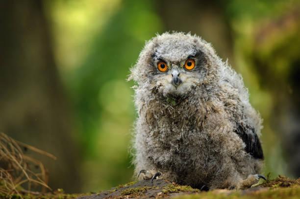 Young baby eurasian eagle owl stock photo