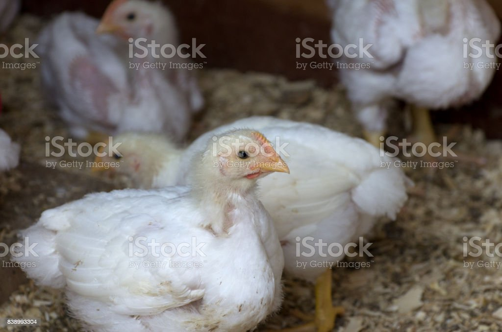 Young Backyard Chickens in Coop stock photo