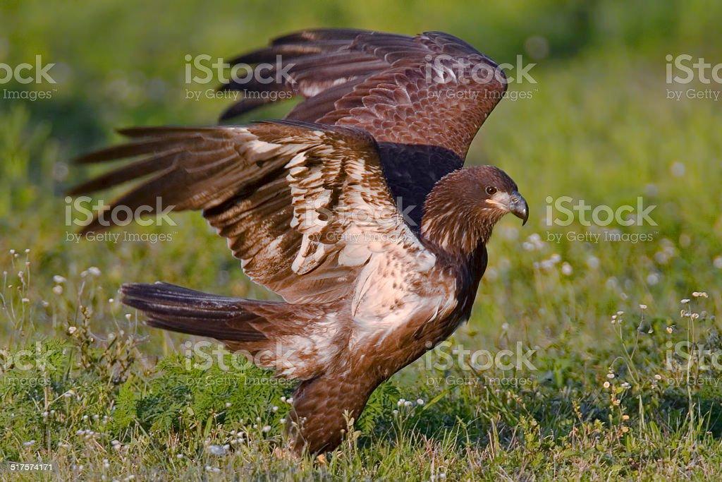 Young Bald Eagle 4 stock photo