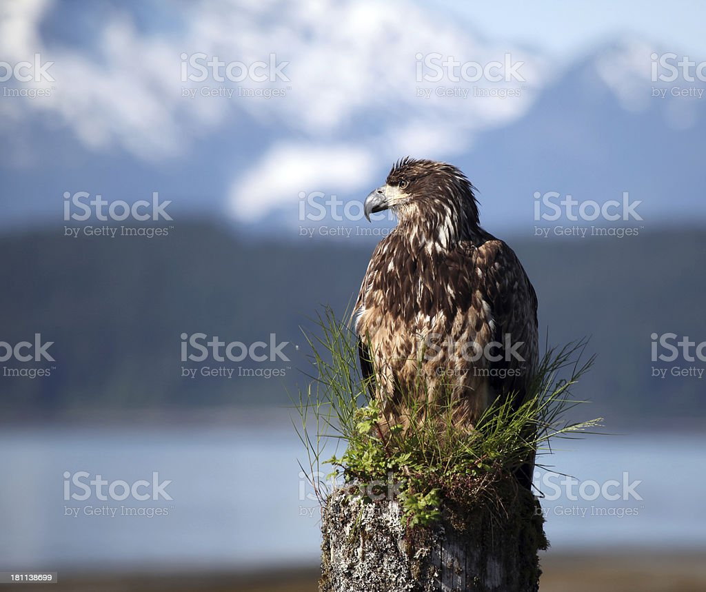 Young bald eagle on old post. Copy space royalty-free stock photo