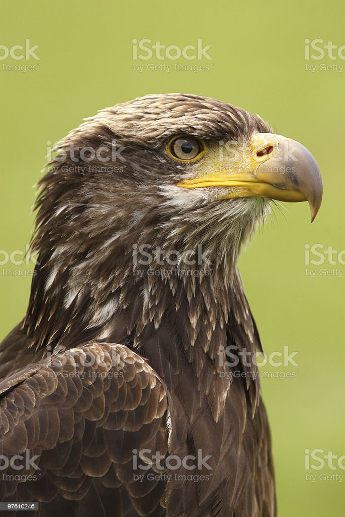Young bald eagle royalty-free stock photo