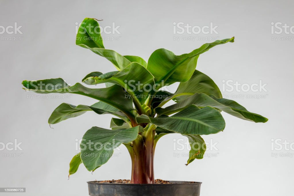 Young Banana Plant Super Dwarf Cavendish Stock Photo Download Image Now Istock