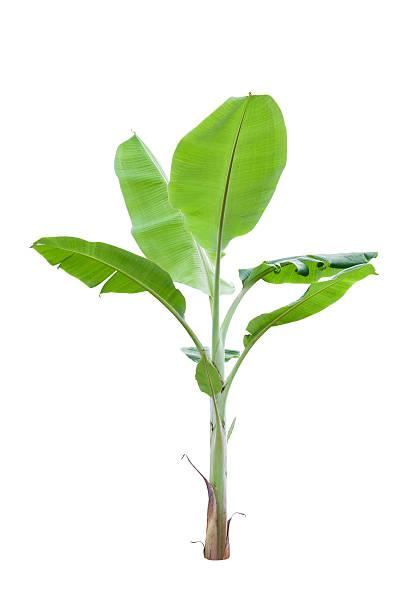 Junge banana Baum, isoliert auf weißem Hintergrund Mit clipping pat – Foto