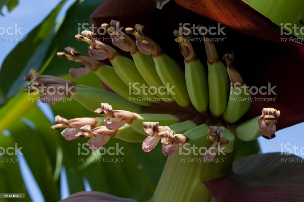young bananas with flower royalty-free stock photo