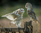 Young barn owl facing off to another young owl