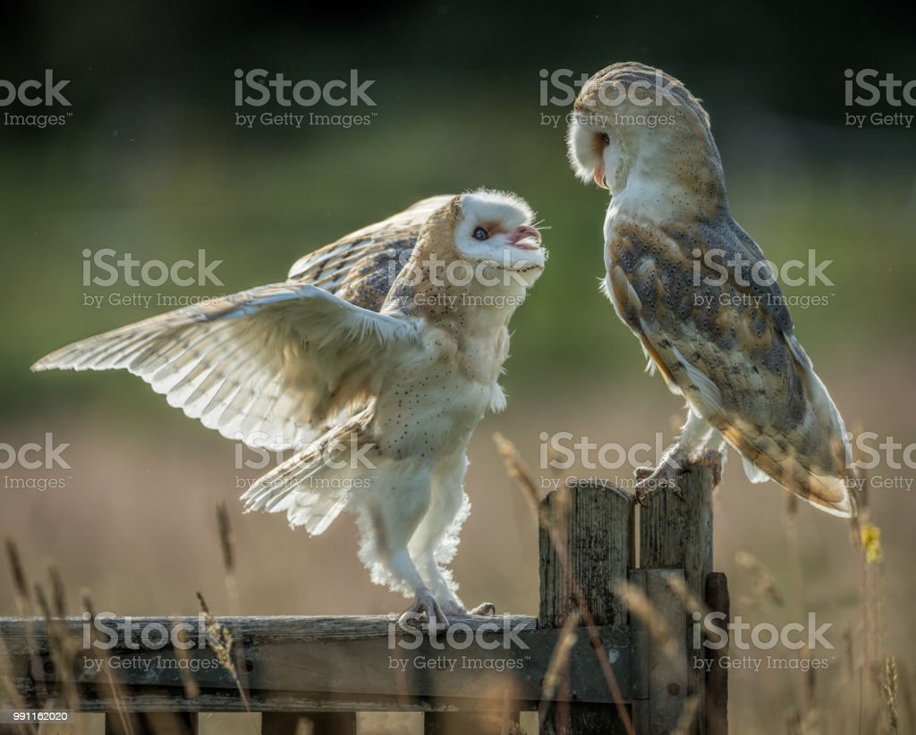 Young barn owl stock photo