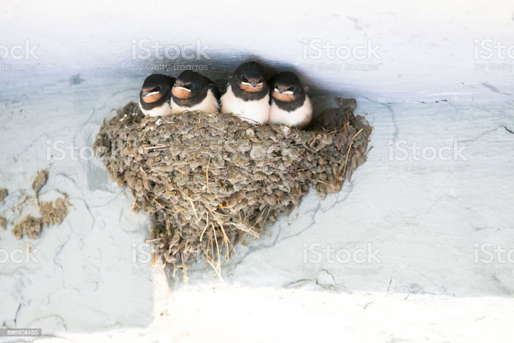 Young Barn Swallow awaits feeding from parents in nest stock photo