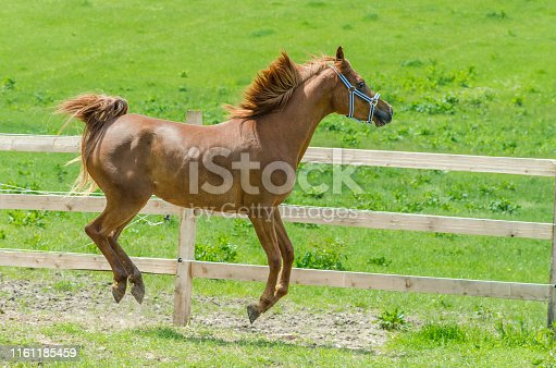 young bay arabian horse on pasture