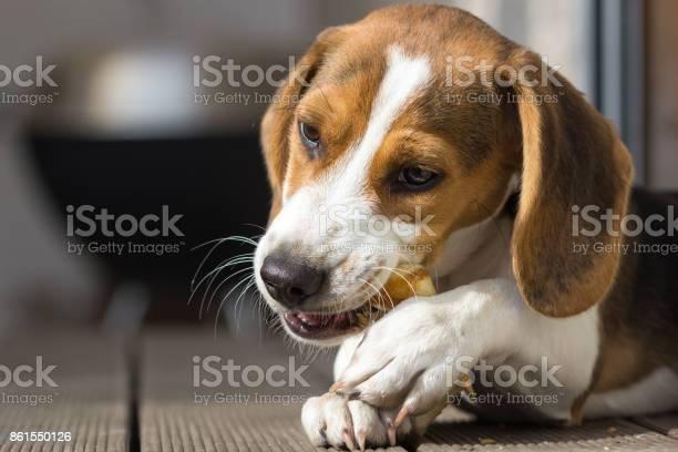 Young beagle chewing on a treat picture id861550126?b=1&k=6&m=861550126&s=612x612&h=5d73 srdi1xynsukkjaryolqriutsua iwm din1aqa=