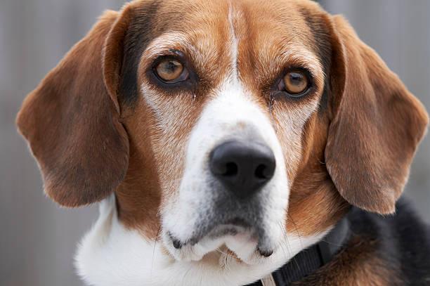 Junge beagle – Foto