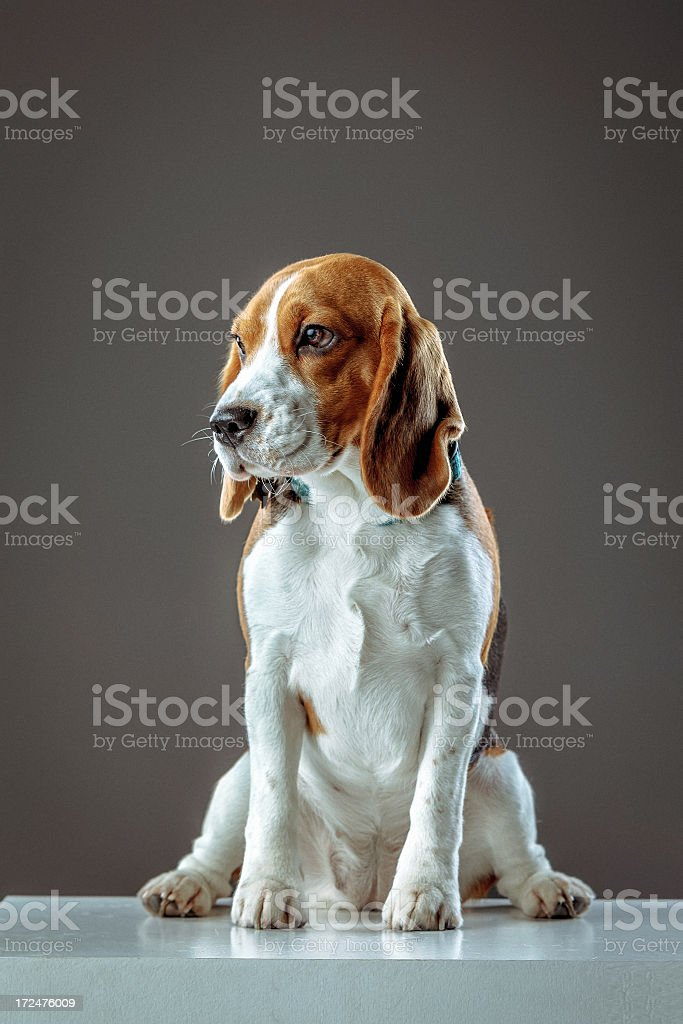 Young Beagle royalty-free stock photo