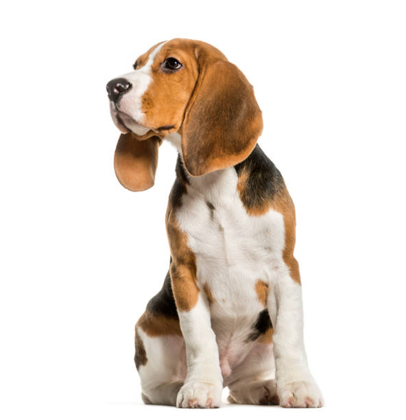 Young Beagle sitting in studio looking away against white background Young Beagle sitting in studio looking away against white background beagle stock pictures, royalty-free photos & images