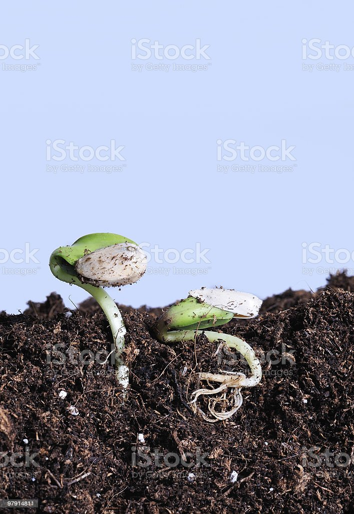 young bean plant begins to grow royalty-free stock photo