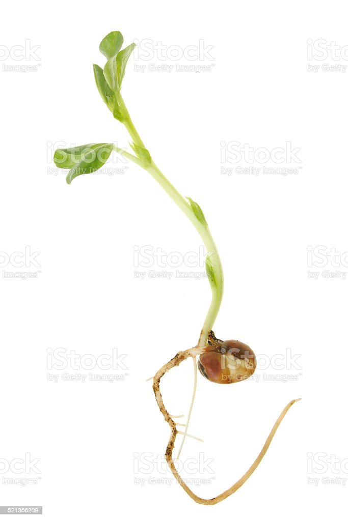 Young bean plant stock photo