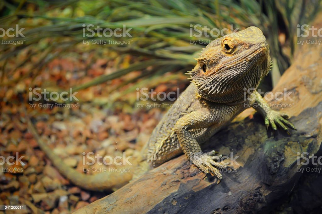 young bearded dragon in a terrarium stock photo
