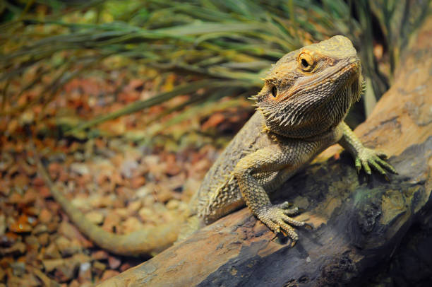 테라리움에서 젊은 수염 드래곤 - 파충류 뉴스 사진 이미지