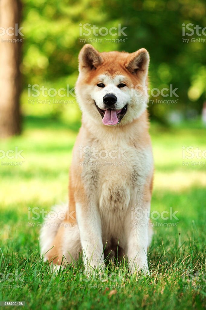 Young beautiful akita inu dog outdoors on summer day stock photo