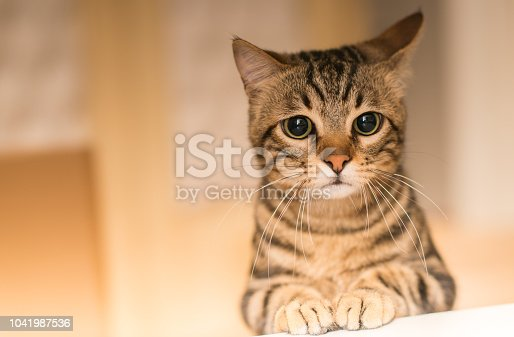 istock Young beautiful cat at home 1041987536