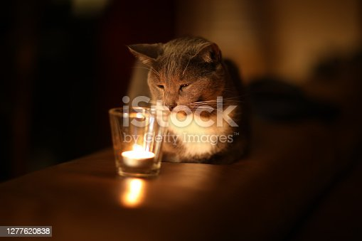istock Young beautiful gray cat near burning candle in darkness. Home cosy concept 1277620838