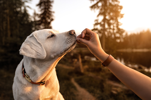 young beautiful labrador retriever puppy is eating some dog food out of humans hand outside during golden late sunset