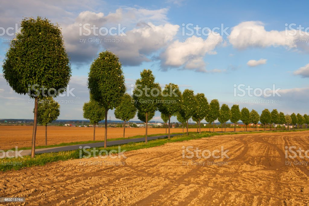Young beautiful trees in alley 免版稅 stock photo