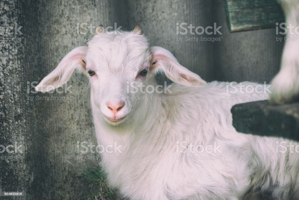 Young beautiful white goatling, grazes on spring nature in the yard near the house stock photo