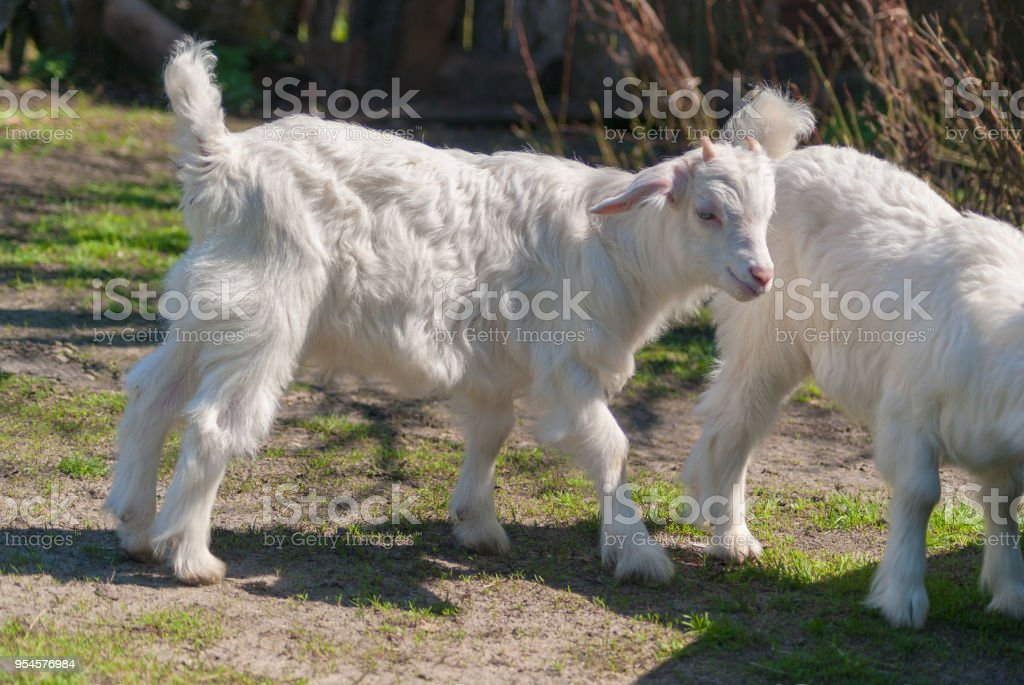 Young beautiful white goatling grazes on spring nature studying the world around stock photo